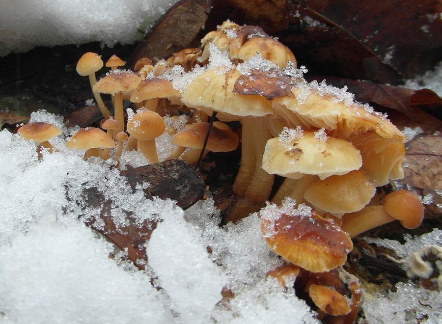 penízovka sametonohá - Flammulina velutipes, jedlá, tržní druh