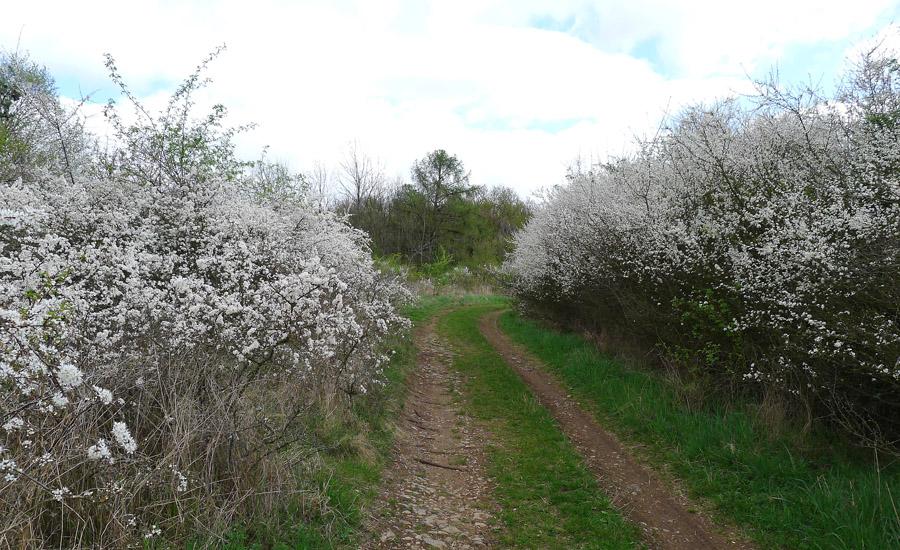 trnka obecná alias slivoň trnitá – Prunus spinosa