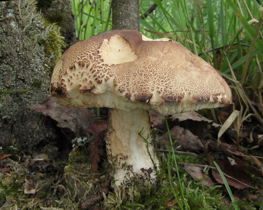 kozák březový – Leccinum scabrum, jedlý, tržní druh