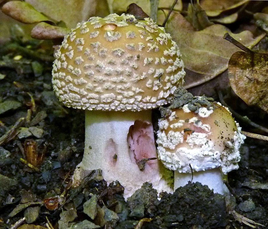 muchomůrka růžovka alias masák - Amanita rubescens, jedlá