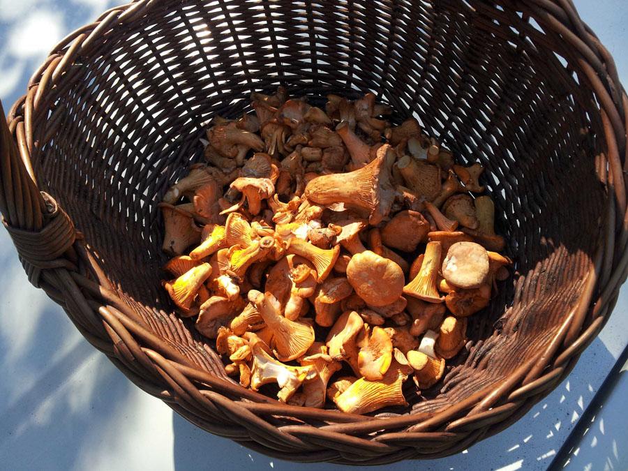 liška obecná - Cantharellus cibarius, jedlá, tržní druh