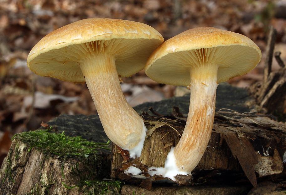 šupinovka pařezová alias nevonná - Gymnopilus hybridus (G. penetrans)
