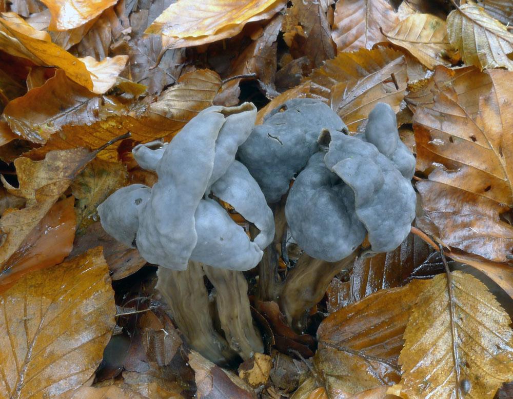 chřapáč jamkatý – Helvella lacunosa, méně hojhě rostoucí, jedlý druh