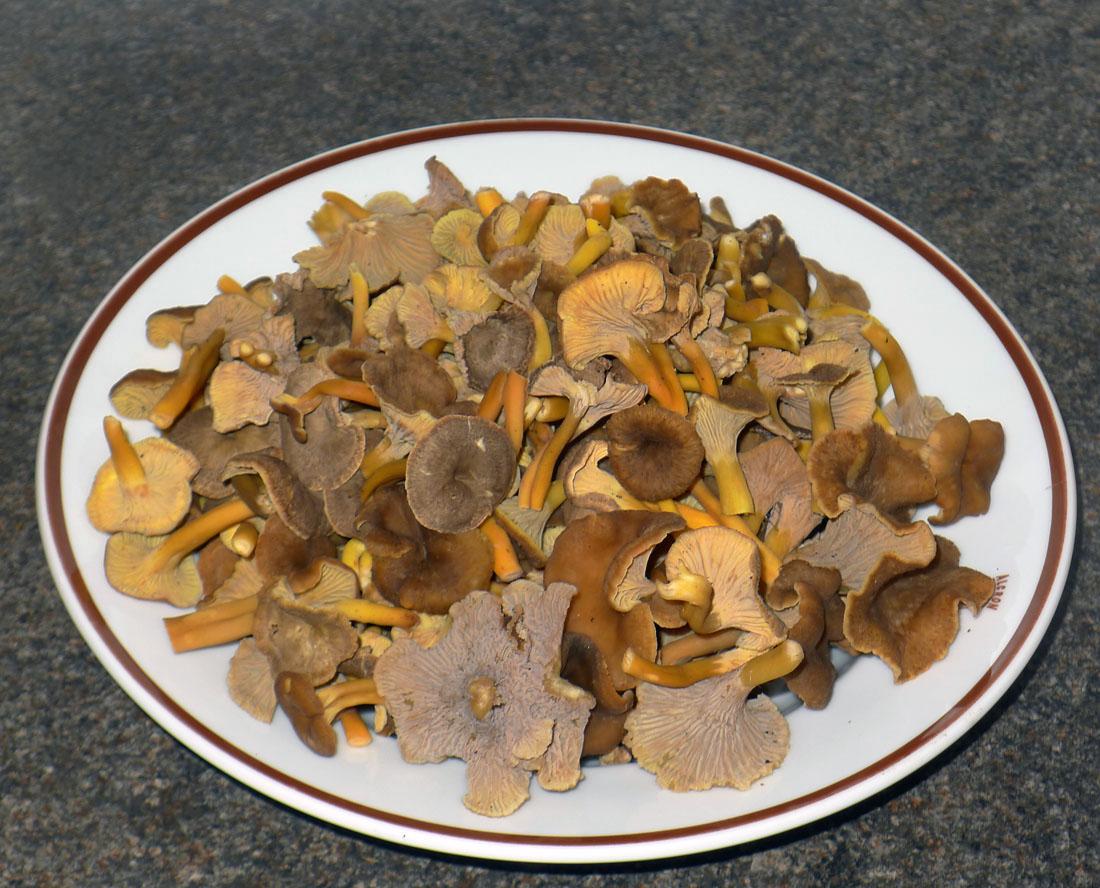 ...chutné lišky nálevkovité pro houbařovu kuchyni