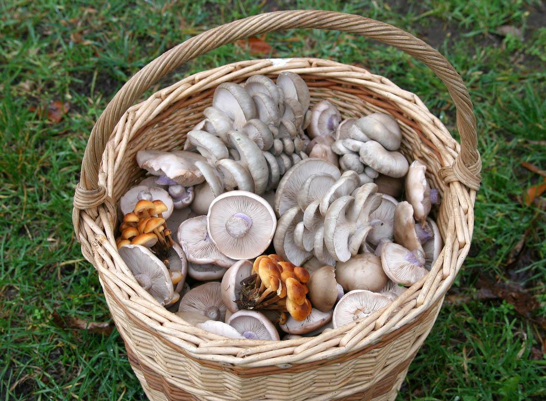 závěr ratíškovické sezóny vpodobě košíku směsi pozdních podzimních druhů hub