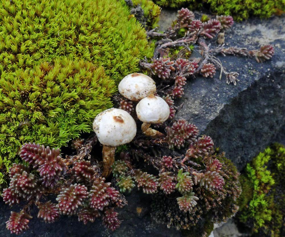 obr. 2palečka zimní – Tulostoma brumale