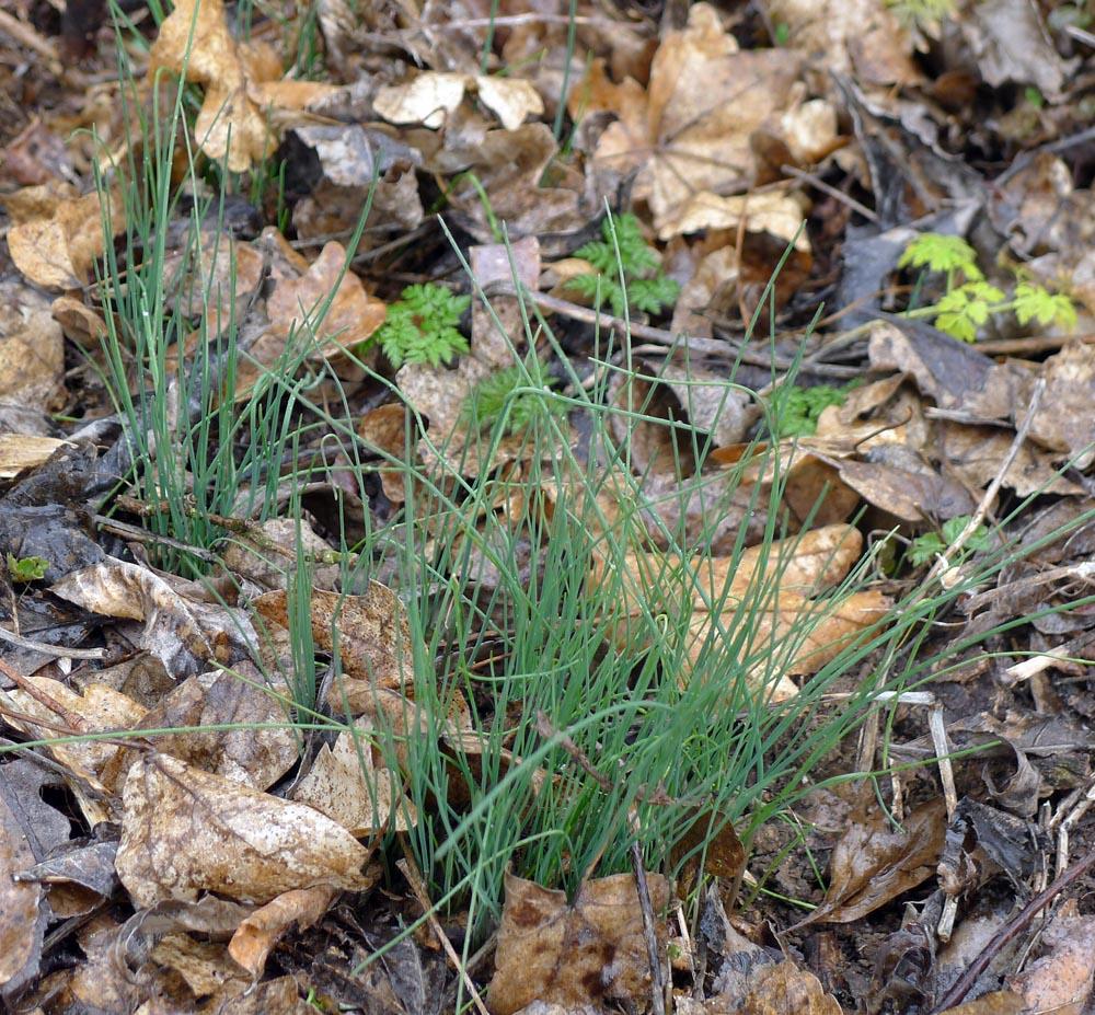 obr. 4pažitka pobřežní - Allium schoenoprasum, ssp. riparium, nížinný poddruh