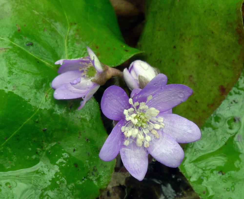 obr. 10 jaterník podléška – Hepatica nobilis