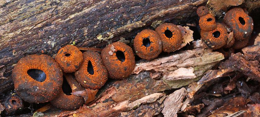 ohnivec černý – Plectania melastoma, foto: Michal Mikšík
