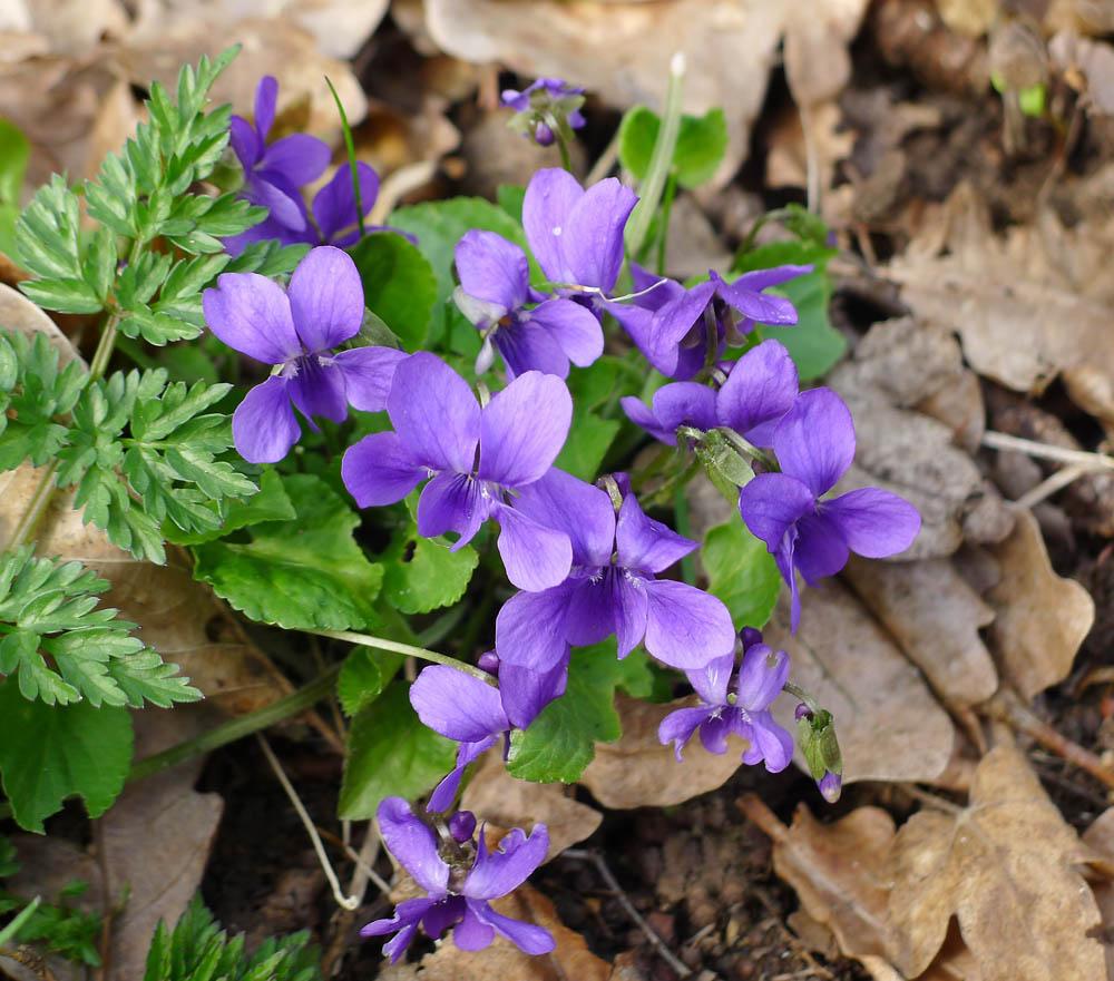 violka (fialka) lesní - Viola reichenbachiana alias Viola sylvestris