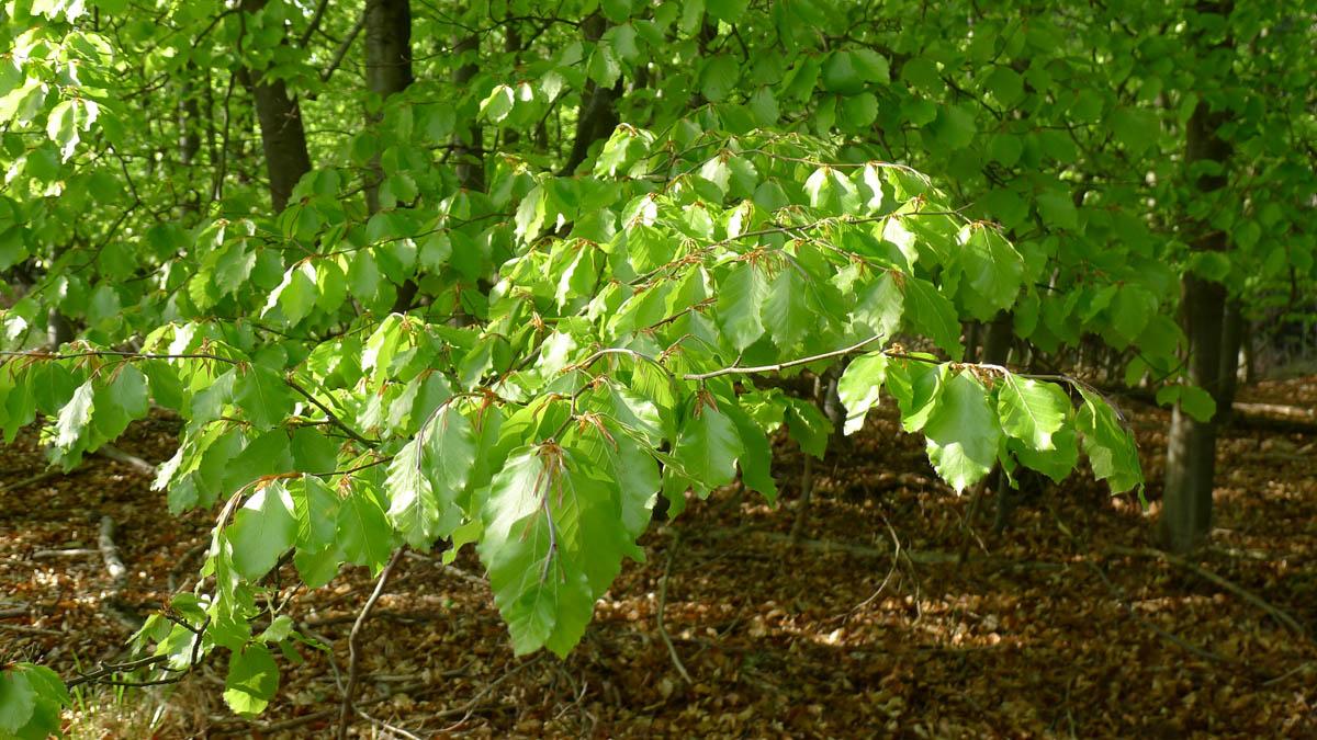 buk lesní – Fagus sylvatica, svěží mladé listoví
