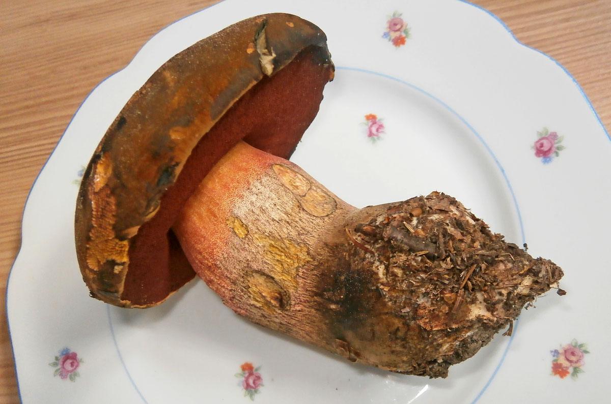 hřib kovář - Boletus luridiformis, jedlý, tržní druh