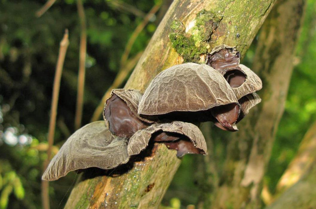 ucho Jidášovo – Auricularia auricula-judae, jedlé, (jako pěstované je tržním druhem) - foto: Jiří Laštůvka