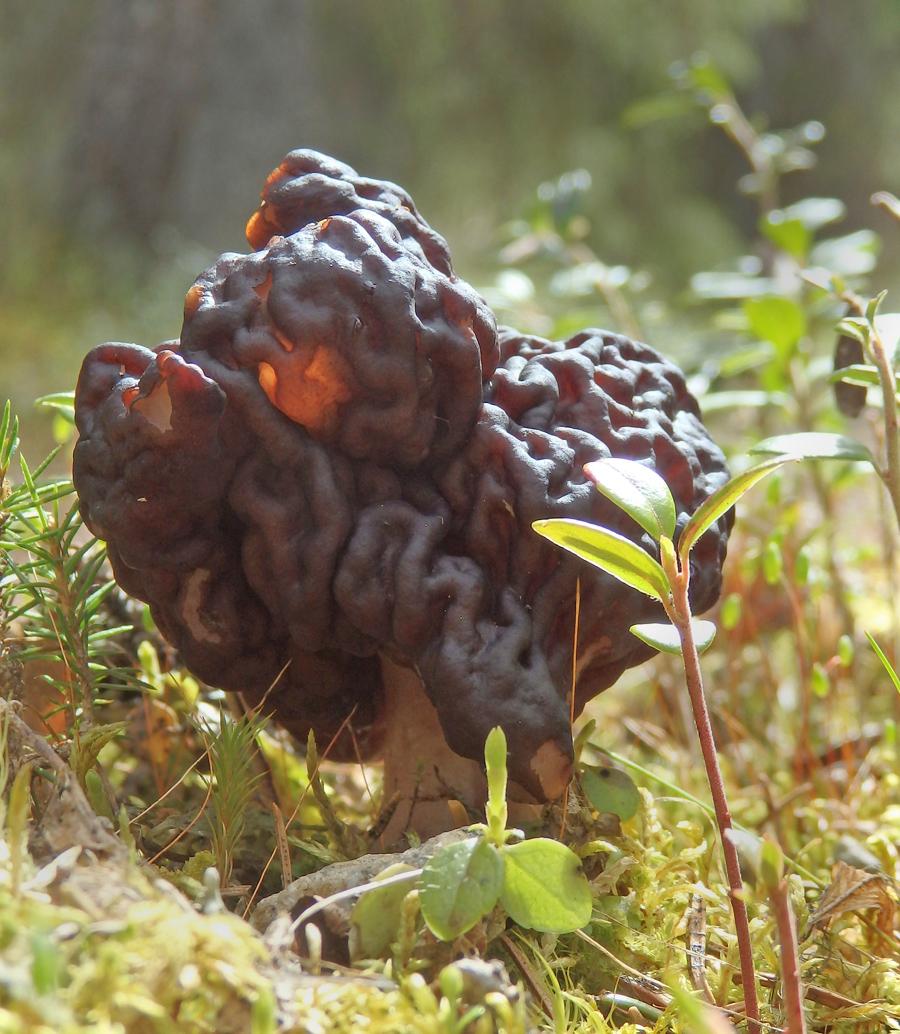 ucháč obecný - Gyromitra esculenta, jedovatý - foto: Petr Gibas