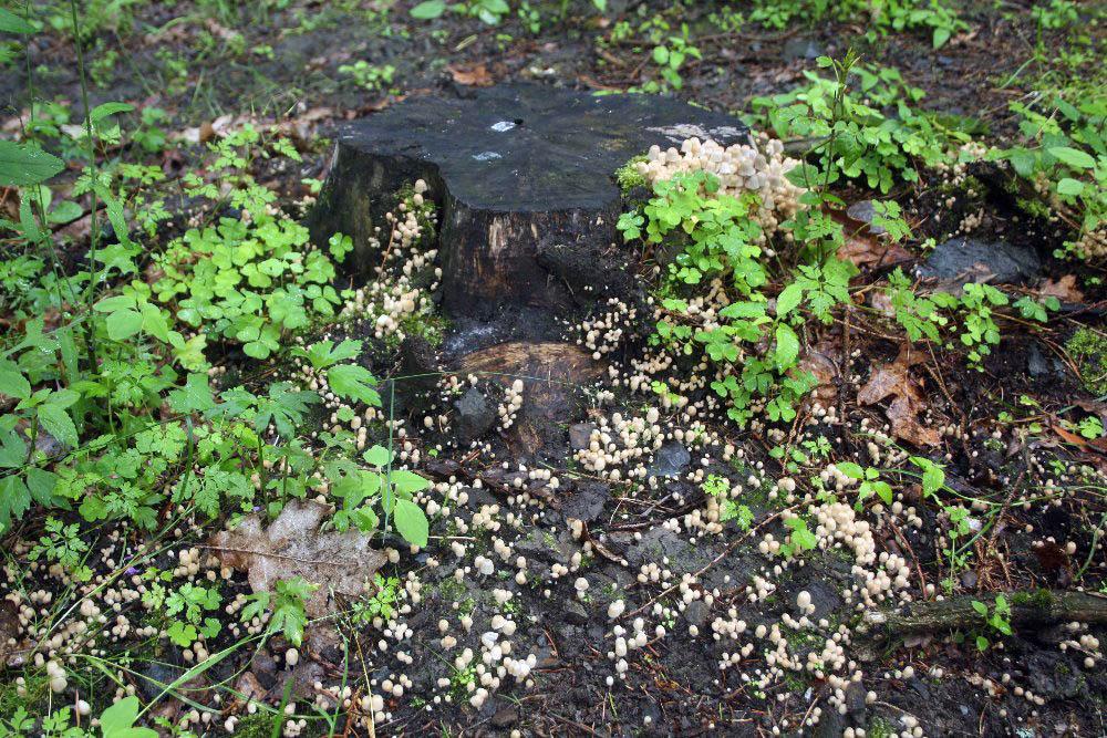 zátiší shnojníkem nasetým - Coprinellus disseminatus, Kejcov, foto: RO