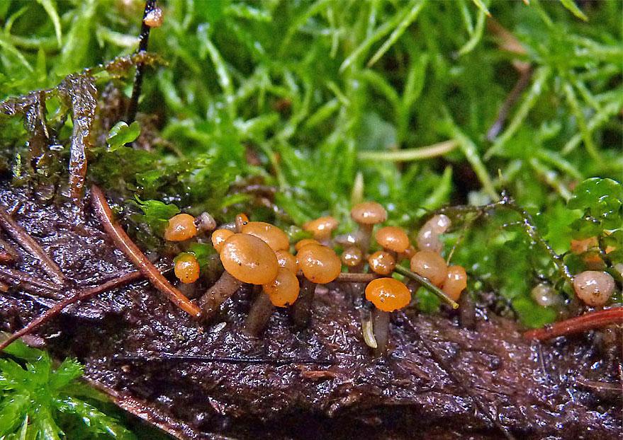 míhavka vodní – Vibrissea truncorum, *druh uvedený vČS, Srní - foto: Petr Mikuš