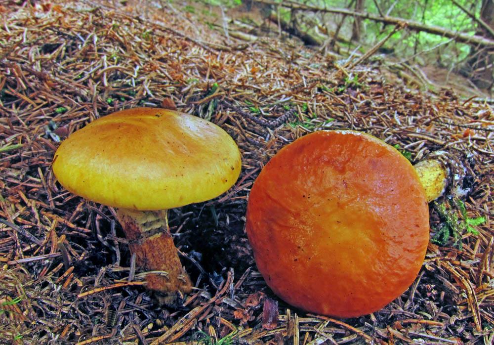 klouzek sličný alias modřínový – Suillus grevillei, jedlý, tržní druh, Plchov - foto: Petr Hampl