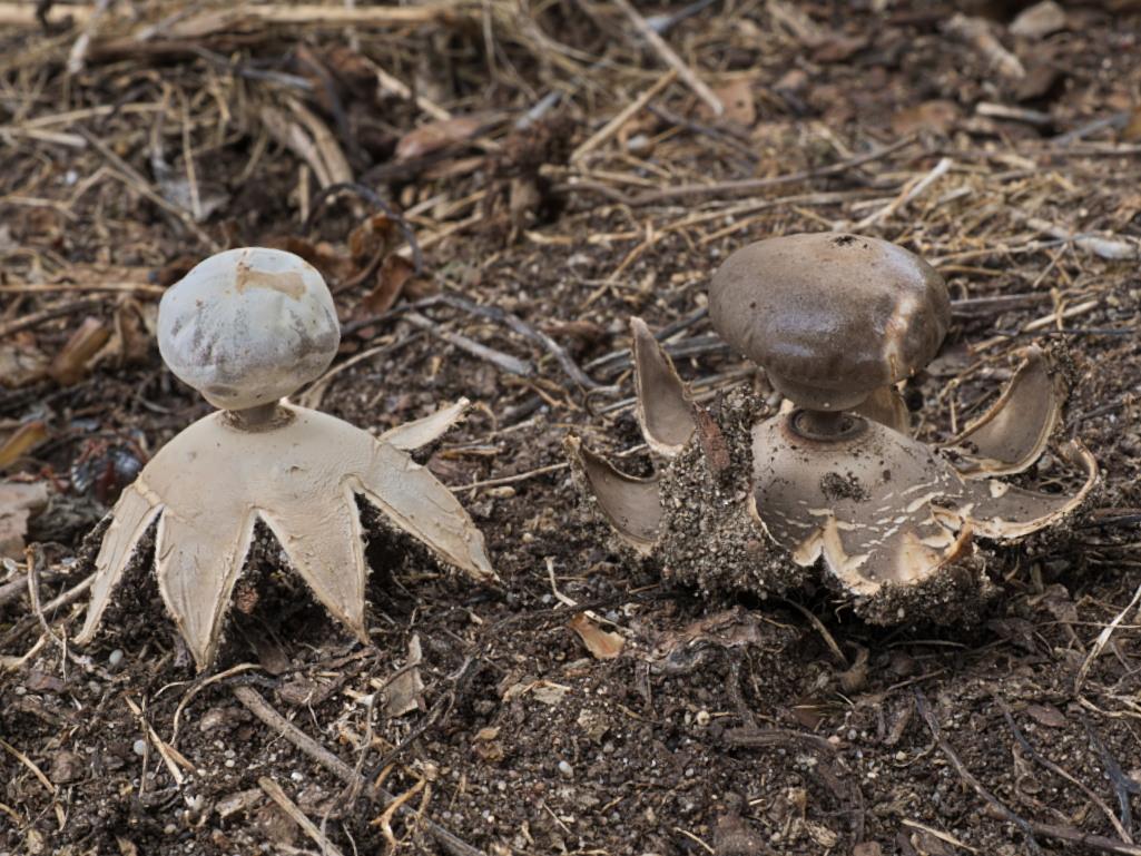 hvězdovka tuhová - Geastrum coronatum - Červený seznam ČR: ohrožený druh [VU] - foto: Roman Maňák