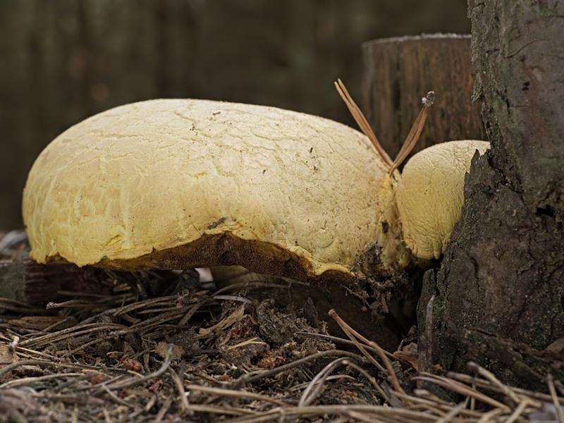hřib sírový - Buchwaldoboletus hemichrysus - Červený seznam ČR: kriticky ohrožený druh [CR] - foto: Roman Maňák