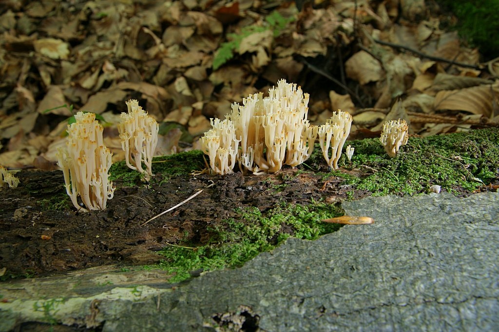 korunokyjka svícnovitá - Artomyces pyxidatus - foto: Radim Dvořák