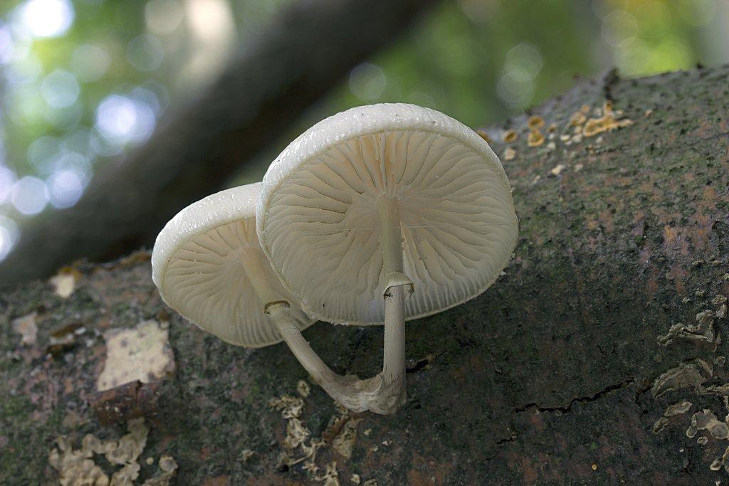 slizečka porcelánová - Oudemansiella mucida - foto: Milan Němčický