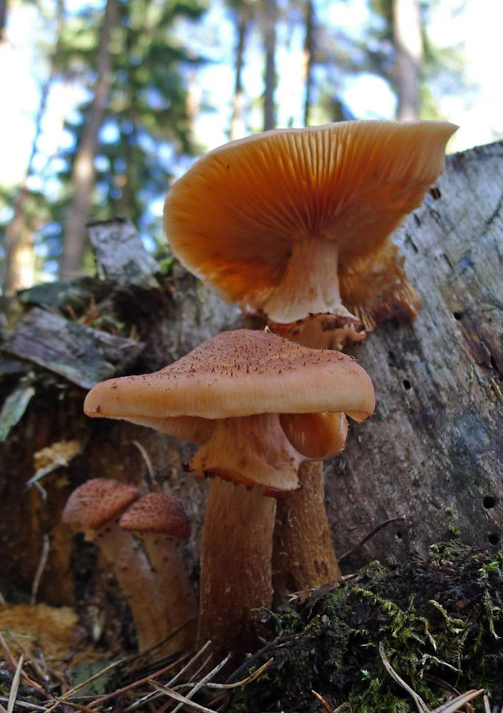 václavka smrková – Armillaria ostoyae, jedlá - foto: František Rejsek, Klatovsko
