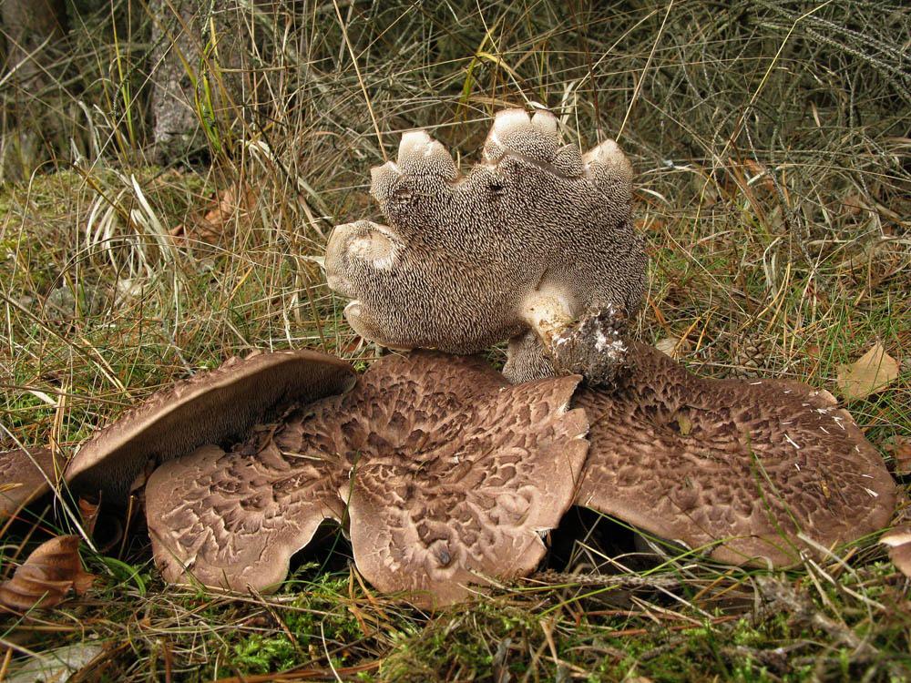 lošák šupinatý – Sarcodon squamosus - foto: Jiří laštůvka, Hlinecko