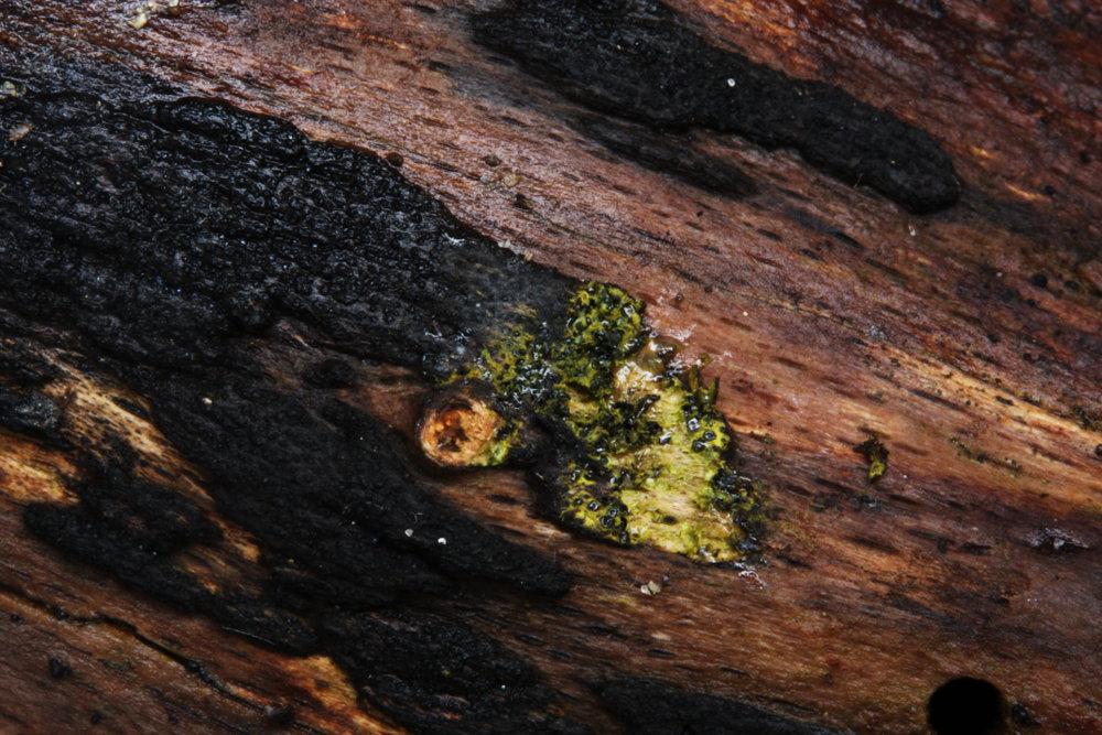 bradavkatka žlutozelená - Eutypa flavovirens - foto: Oldřich Jindřich