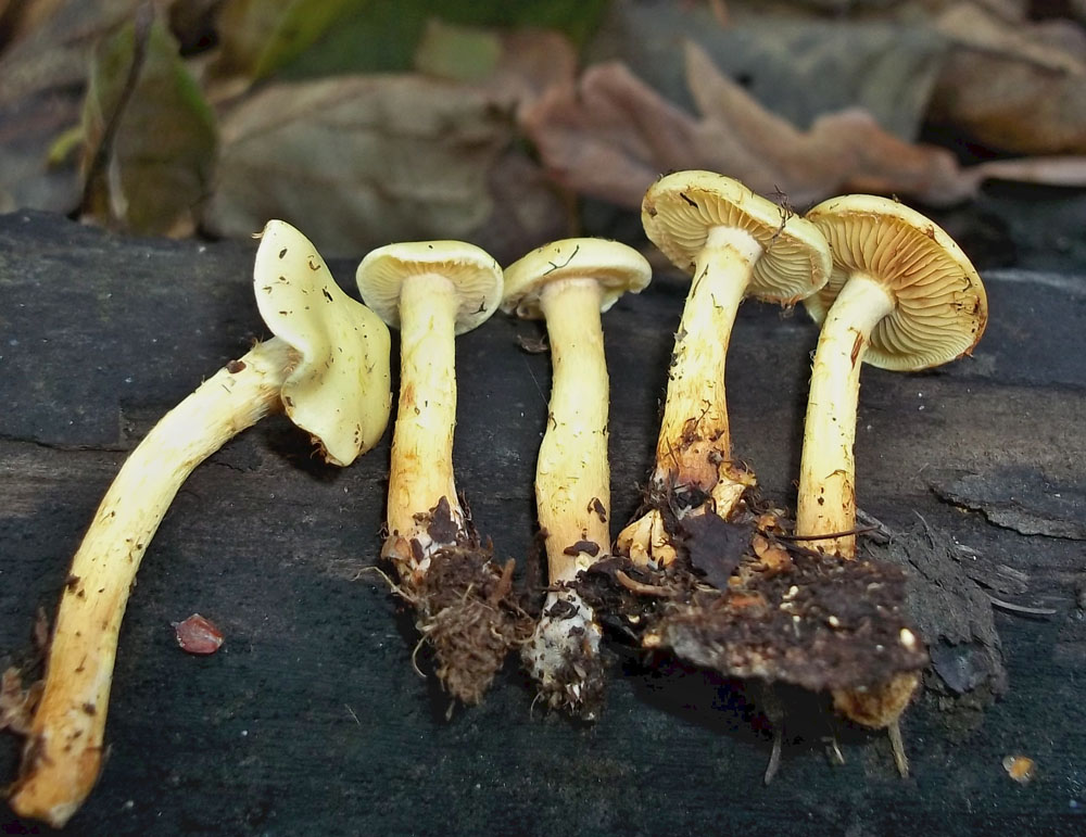šupinovka olšová - Pholiota alnicola - foto: Lubomír Opat