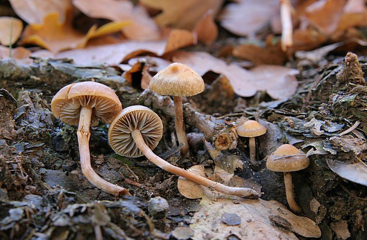 třepenitka vlhkožijná – Hypholoma subericaeum, kategorie ohrožení EN - foto: Radim Dvořák, Manětínsko