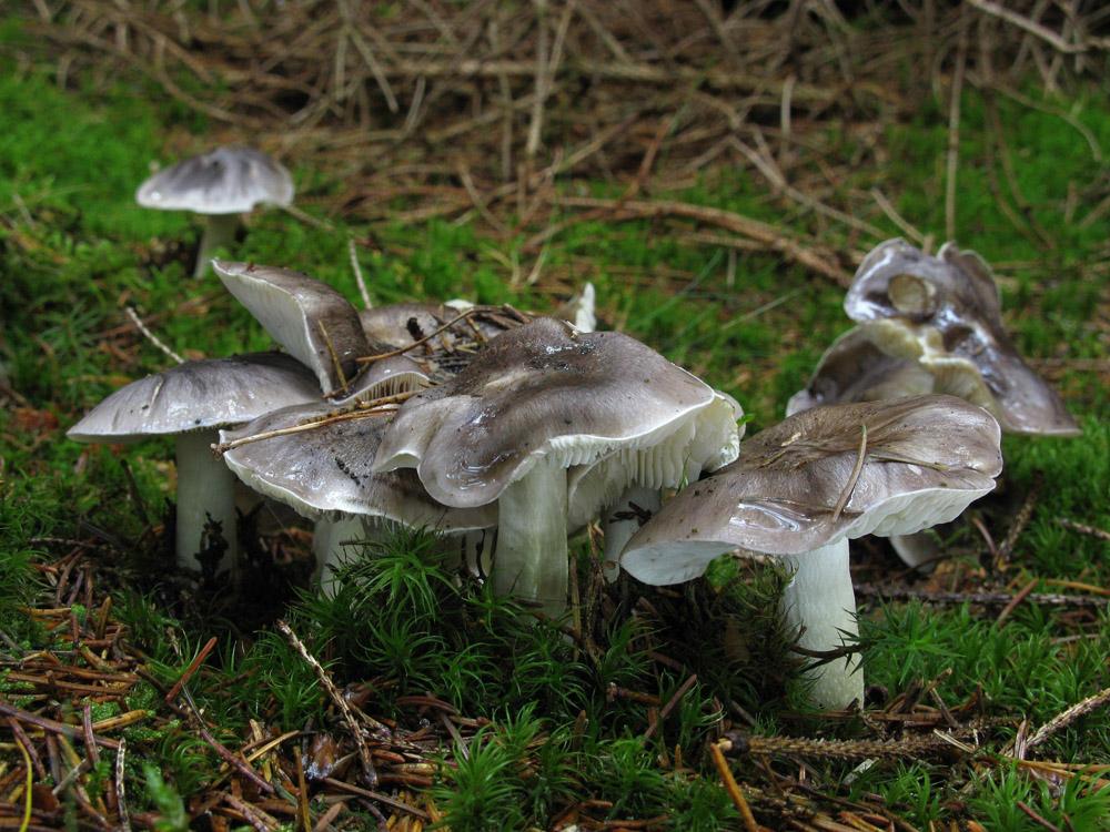 čirůvka havelka – Tricholoma portentosum, jedlá, tržní druh - foto: Jiří Laštůvka, Hlinecko