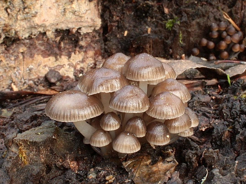 helmovka pařezová – Mycena tintinabulum, Vlašimsko - foto: Pavel Moran