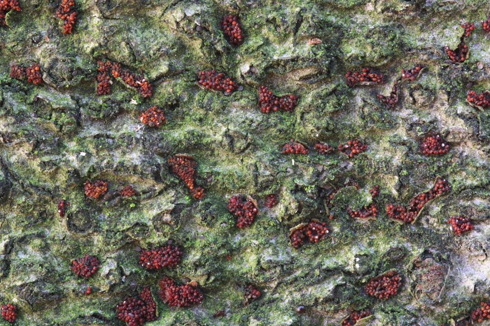 rážovka šarlatová - Nectria coccinea, Pardubicko - foto: Jan Kramoliš
