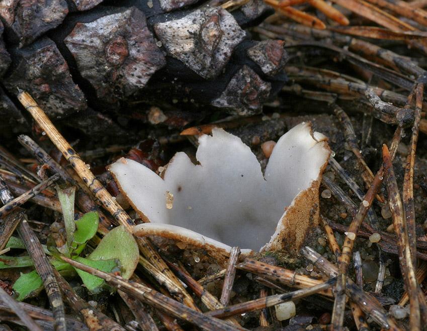 hrobenka pískomilná – Geopora arenicola, Hodonínsko - foto: Ladislav Špeta