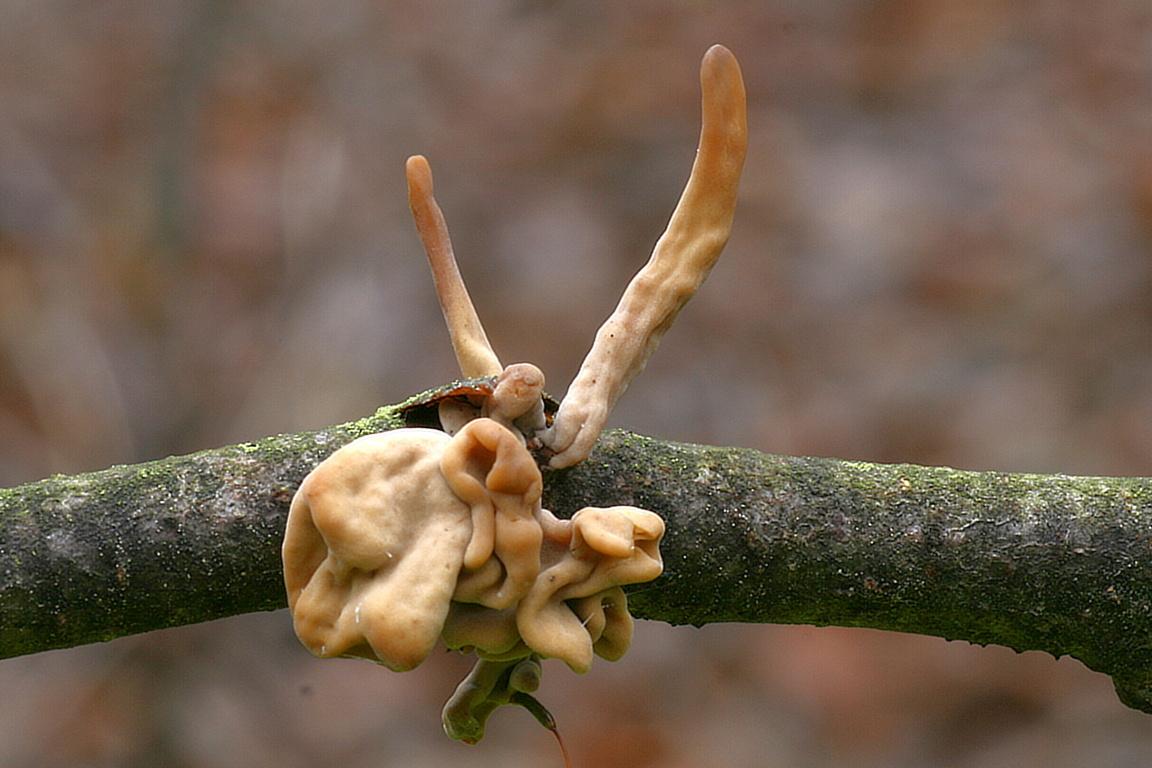 kyj zkroucený - Macrotyphula fistulosa var. contorta - foto: Ladislav Špeta, jižní Morava