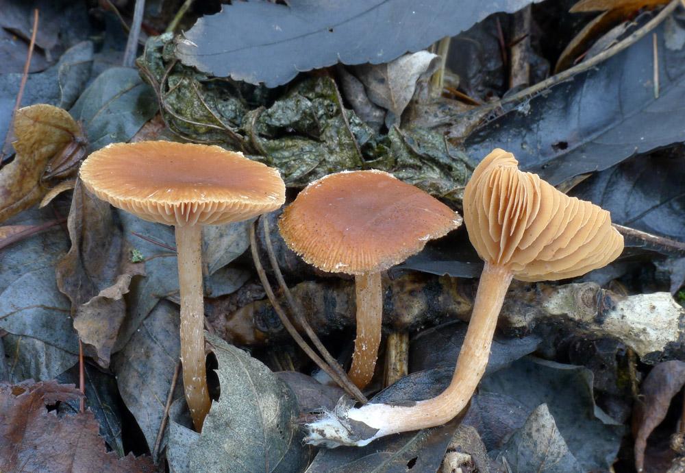 kržatka zimní – Tubaria hiemalis, jedlá - foto: AV, Modřanská rokle