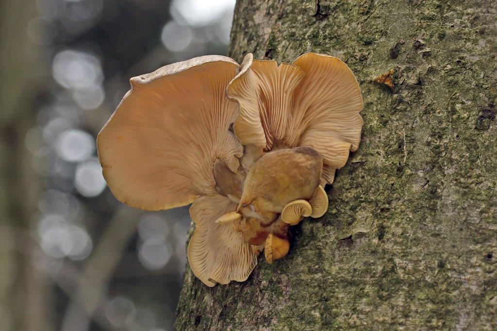 pařezník pozdní - Sarcomyxa serotina, jedlý - foto: Milan Němčický, Buchlovicko