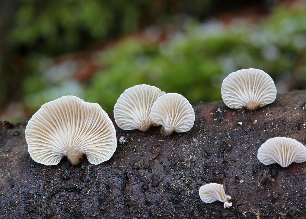 pařezník jemný - Panellus mitis - foto: Libor Hejl, jižní Plzeňsko, Nezvěsticko