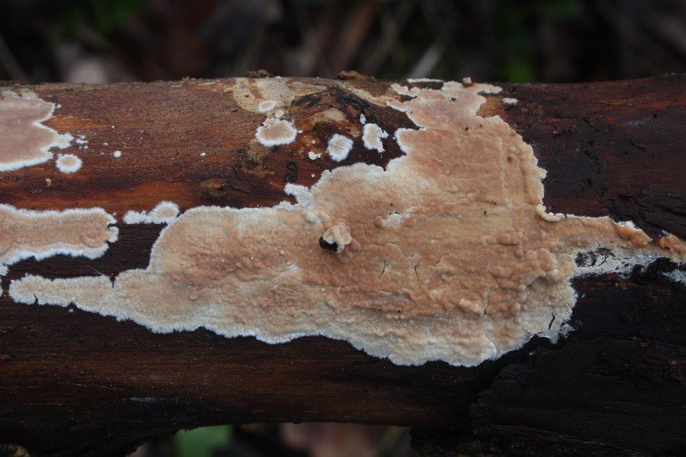 kornatec rozvitý - Cylindrobasidium evolens - foto: Oldřich Jindřich, Hořovicko