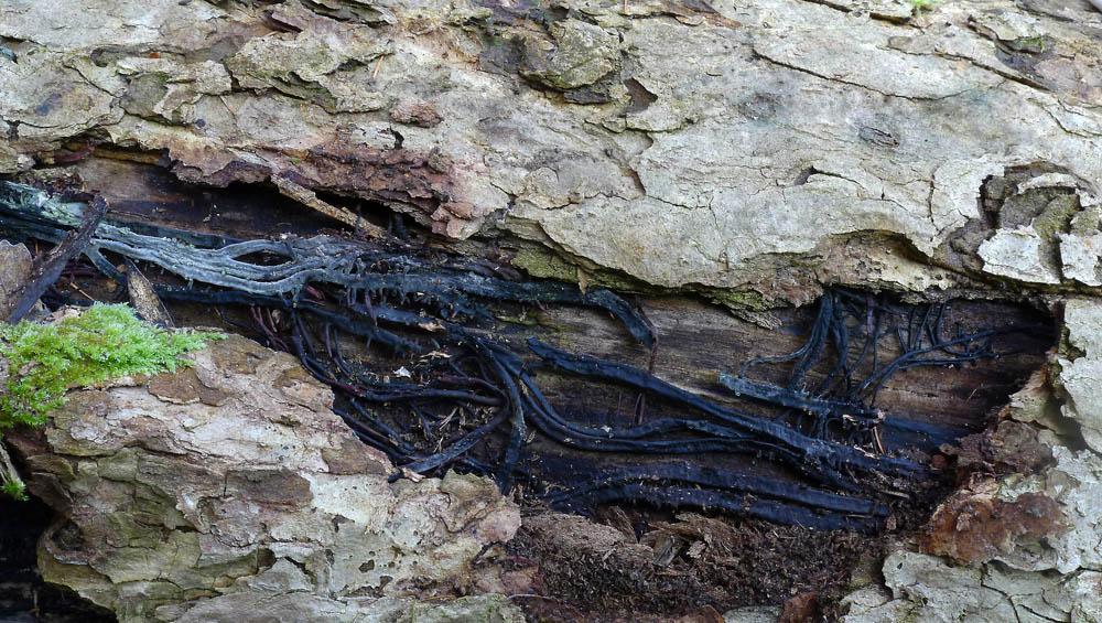 rhizomorfy troudnatce kopytovitého; typ trvalého podhoubí, morfologicky připomínající kořeny rostlin - foto: AV, Nižborsko