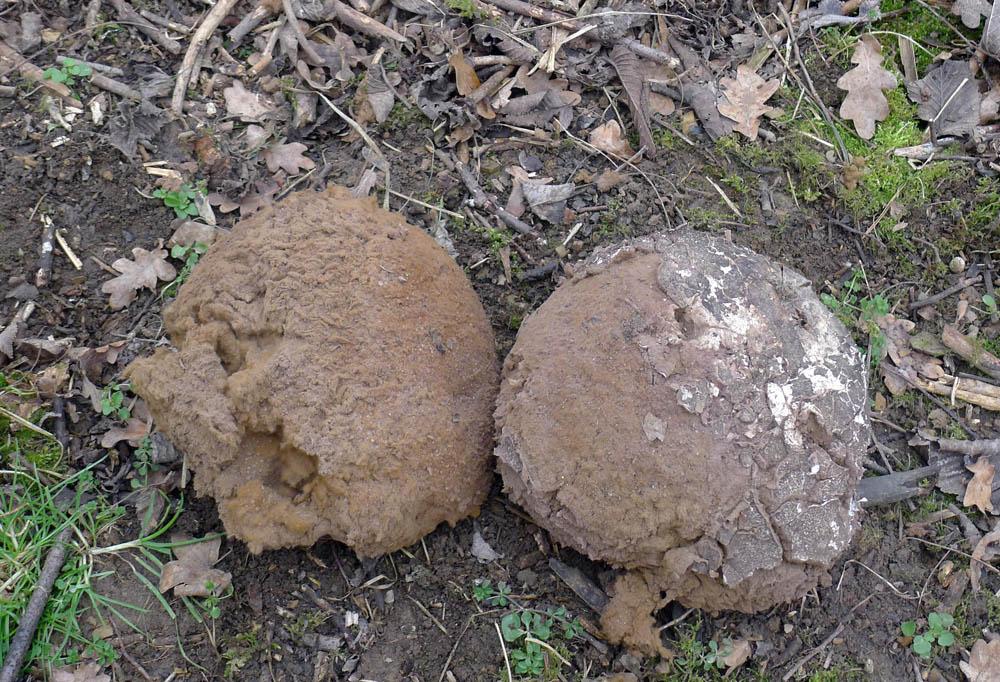 torza loňských plodnic vatovce obrovského - Langermannia gigantea - foto: AV, Koněprusy