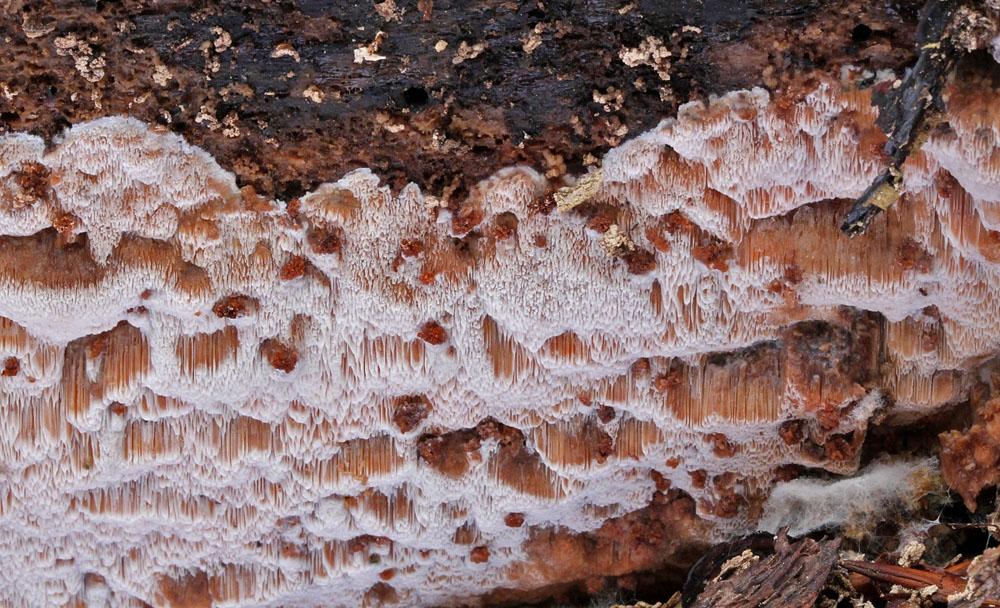 pórnatka bledoplavá - Ceriporiopsis gilvescens - foto: Libor Hejl, jižní Plzeňsko, Nezvěsticko