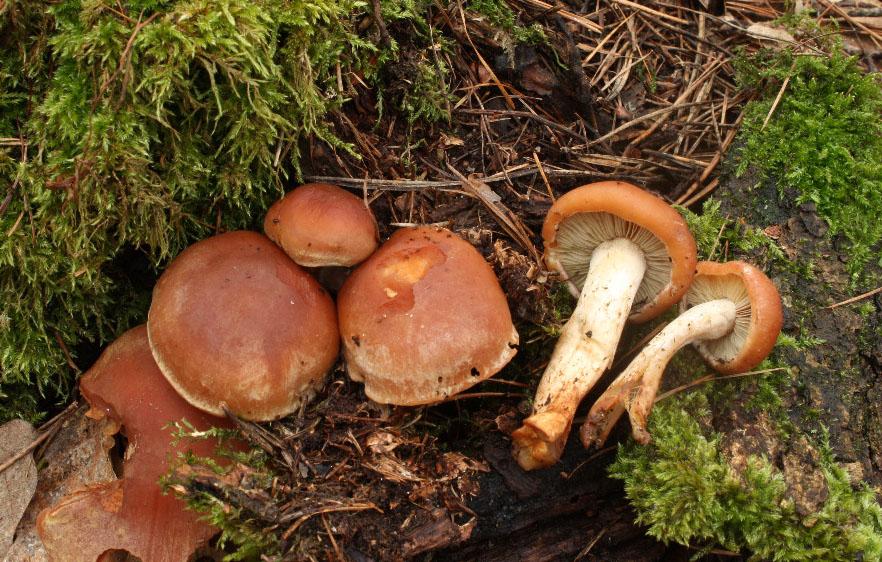 t�epenitka makov� � Hypholoma capnoides, jedl�