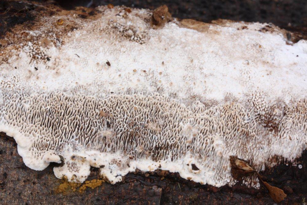 outkovka měkká - Datronia mollis