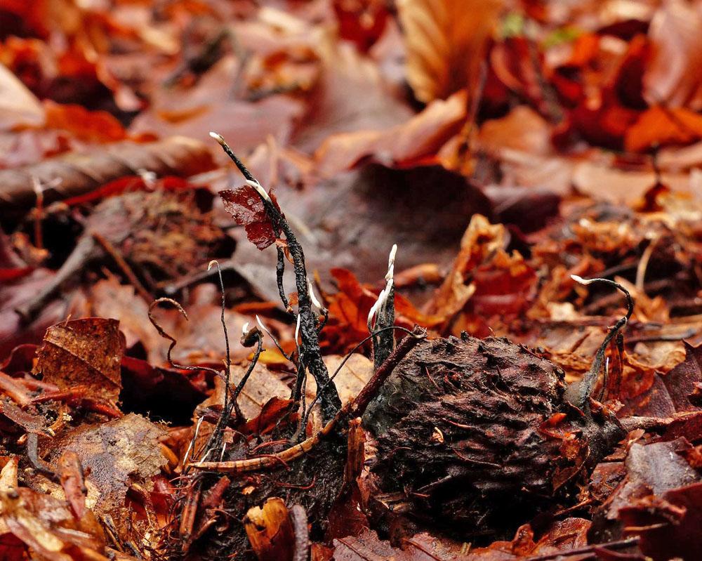 dřevnatka číškomilná – Xylaria carpophila - foto: Jiří Laštůvka, Hlinecko