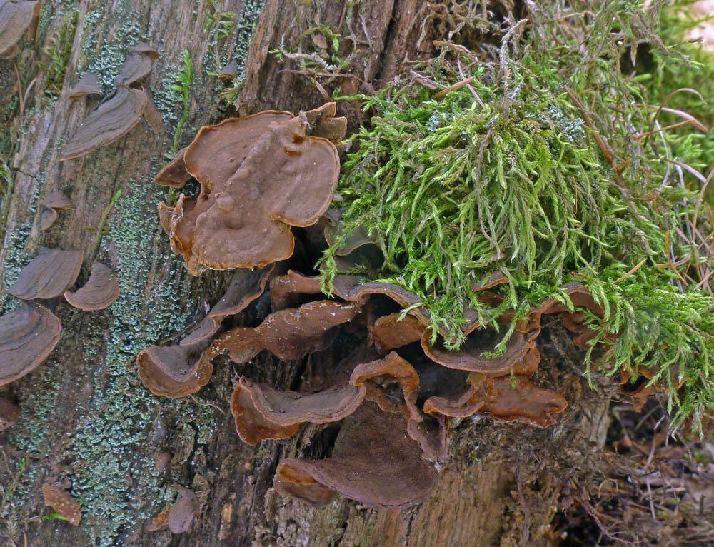 kožovka rezavá – Hymenochaete rubiginosa - foto: AV, Praha, Malá Chuchle
