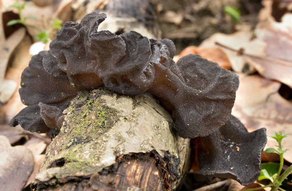 �ernorosol u�at� � Exidia truncata - foto: Milan N�m�ick�, Hodon�nsko