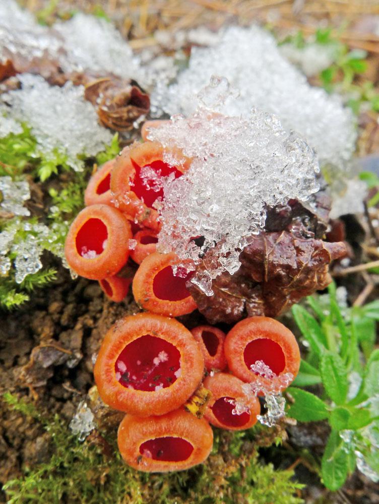 ohnivec rakousk� � Sarcoscypha austriaca - foto: Kamil Hecht, st�edn� �echy