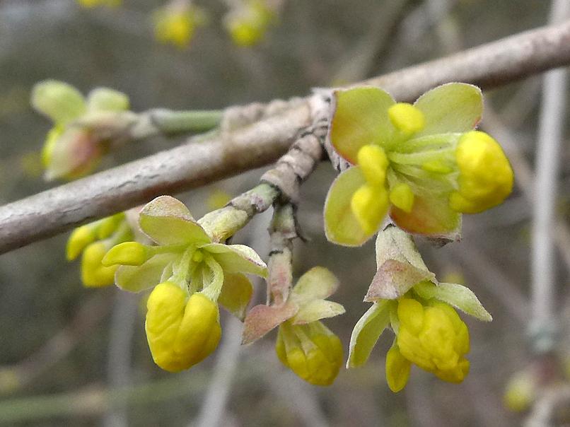 květy dřínu obecného – Cornus mas
