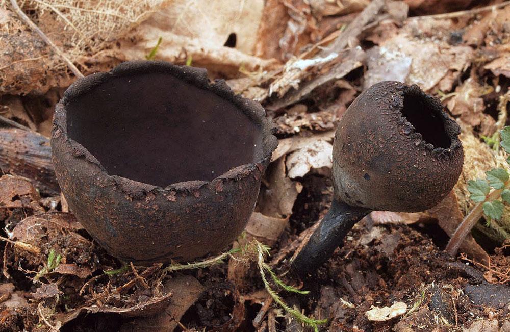 urnička pohárová – Urnula craterium, Červený seznam ohrožených druhů, kategorie CR - foto: Jiří Kovač, Mladoboleslavsko